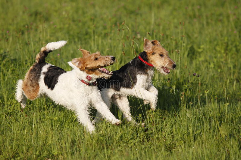 Two Foxterrier running in the meadow stock photos