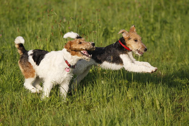 Two Foxterrier running in the meadow royalty free stock photo