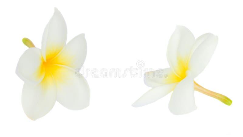 Two frangipani flowers royalty free stock image