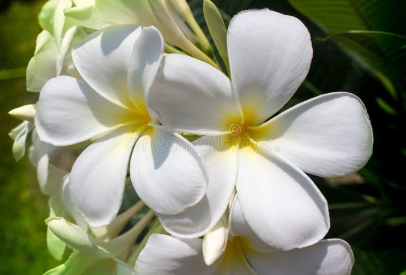 Two frangipani flowers stock photo