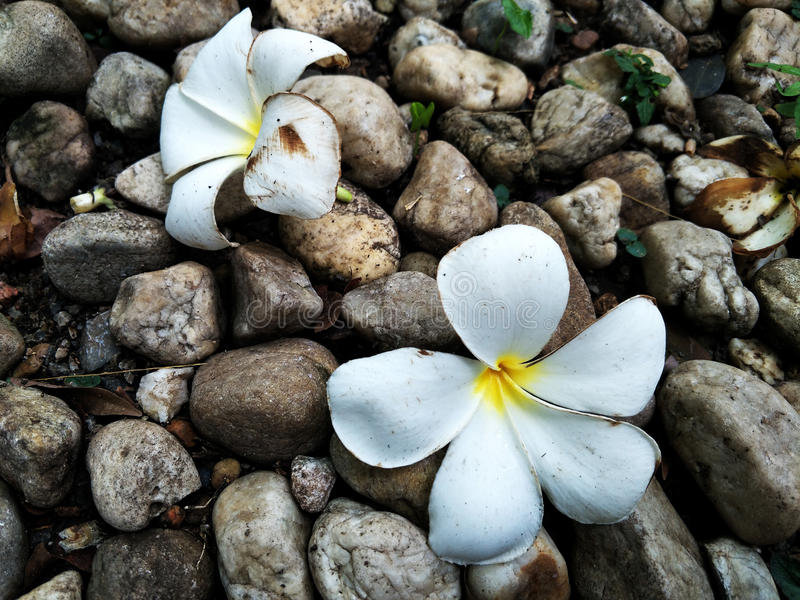 Two frangipani with pile of stones royalty free stock images