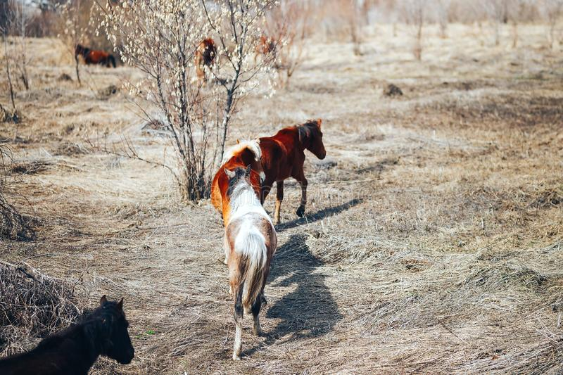 Two free young horse run on spring field, red and black stock photo
