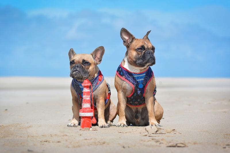 Two French Bulldog dogs on holidas sitting on beach in front of clear blue sky wearing matching maritime sailor harness stock photography