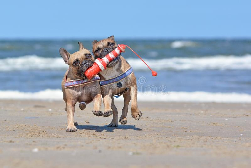 Two French Bulldog dogs on vacations  playing fetch with a maritime dog toy  shaped like a lighthouse at beach royalty free stock image