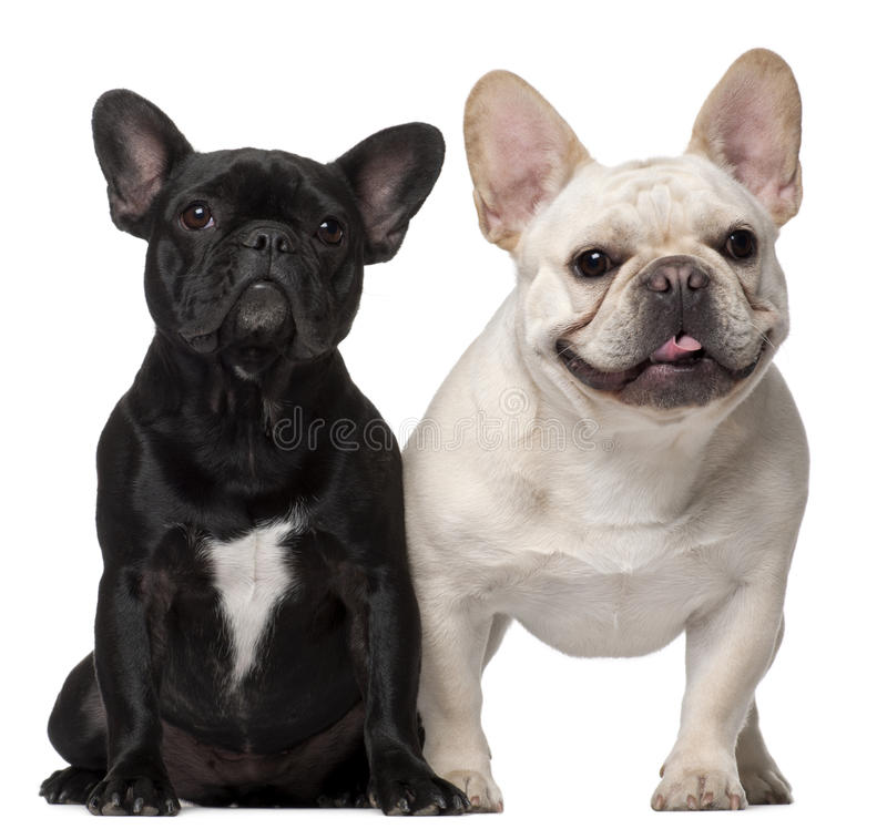 Two French Bulldogs, 18 months old royalty free stock photos