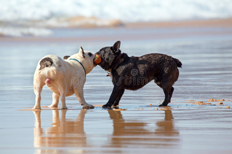 Two french bulldogs playing with a ball on the beach. In Portugal royalty free stock photography