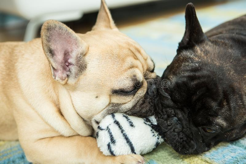 Two french bulldogs playing with a toy royalty free stock photos