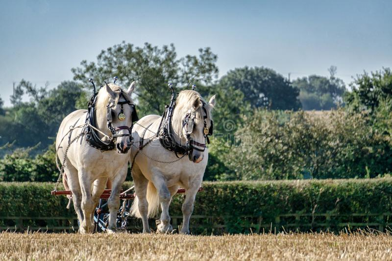 Two French Draughts Ploughing. Two grey French Draught horses ploughing a field with a vintage plough in the morning sun royalty free stock photography