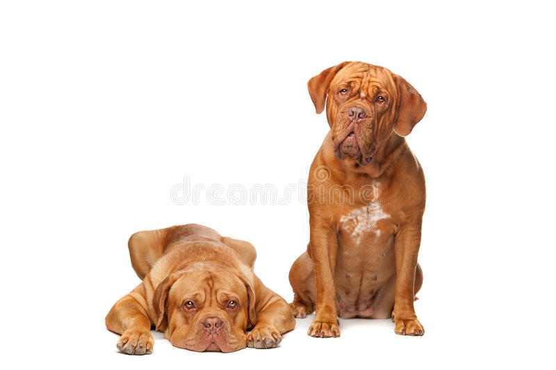 Two French Mastiff dogs. In front of a white background stock images