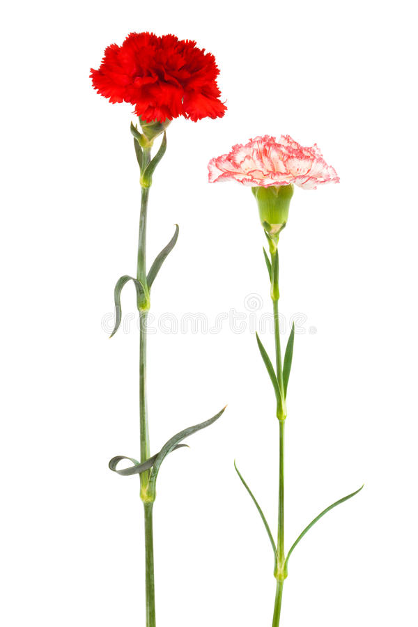 Two fresh carnation. On a white background stock photography