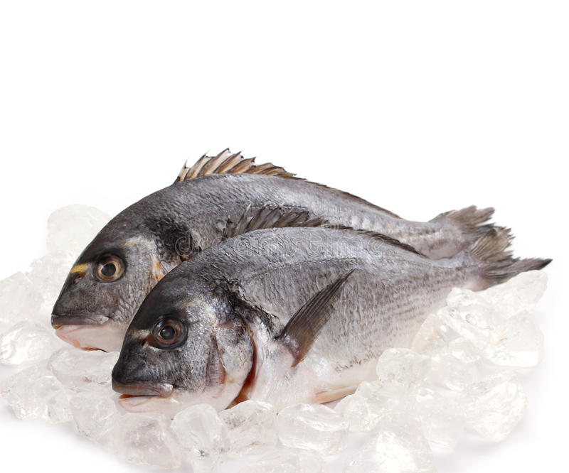 Two fresh gilt-head isolated on ice stock photos