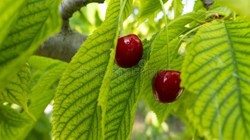 Two fresh natural cherries in the leaves of the cherry tree stock image