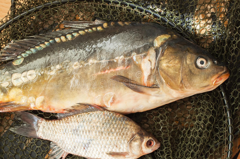 Two fresh raw river fishes on fishing net. Two fresh raw river fishes, carp and crucian close-up on fishing net, just taken from the water stock images