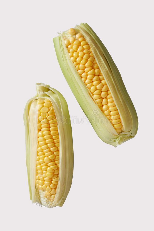 Two fresh sweet corn or corncobs with outer leaves. Two raw fresh sweet corn or corn on the cob with outer leaves ready to grill over a summer barbecue for a royalty free stock images