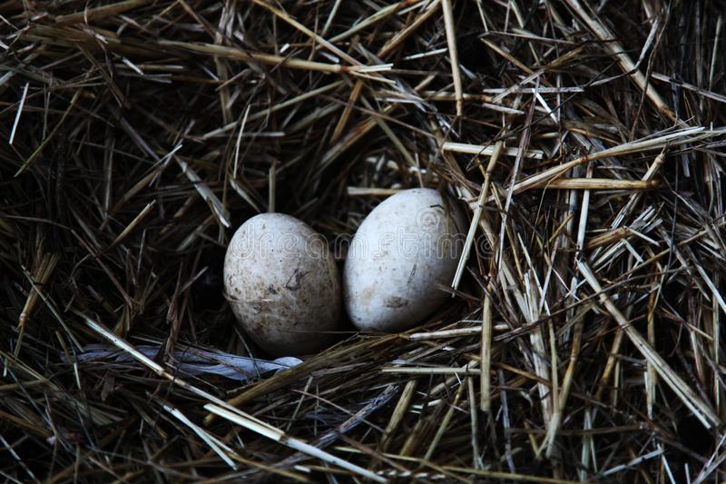 Two duck eggs royalty free stock photo