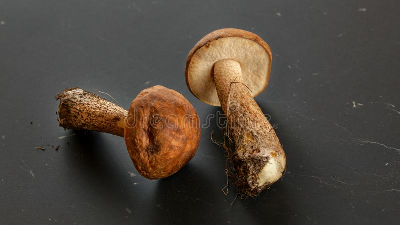 Two freshly picked mushrooms scaber stalk / Leccinum scabrum soil and dirt from forest still on them, on dark gray, board.  stock image