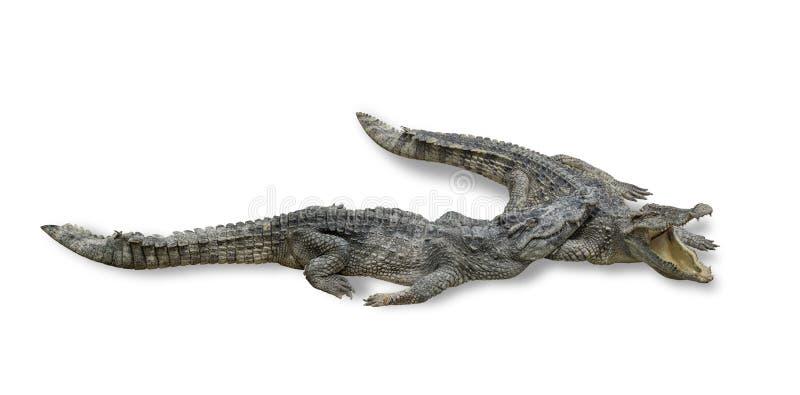 Two freshwater crocodile isolated on white background royalty free stock photo