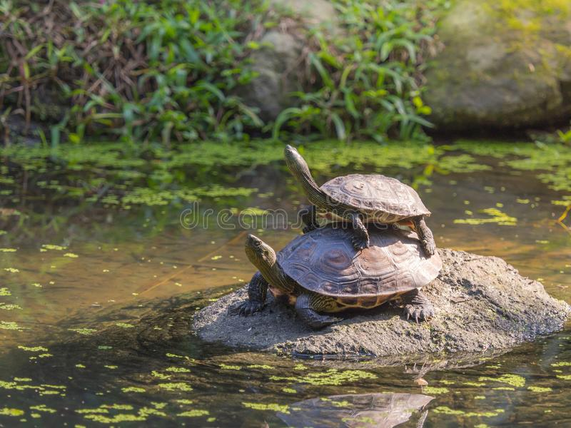 Two freshwater turtle standing on the rock in a shallow pond. royalty free stock photography