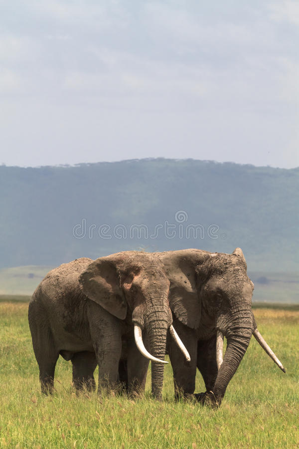 Two friend. Old elefants from crater NgoroNgoro. Two friend. Old elefants from crater. NgoroNgoro, Tanzania stock image