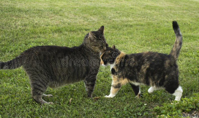Two Friendly Cats Nuzzling stock photos