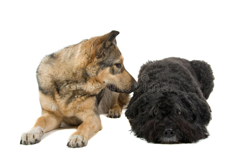 Two friendly dogs. Closeup of mixed breed German Alsatian and Bouvier des Flandres dogs lying together, isolated on white background royalty free stock image
