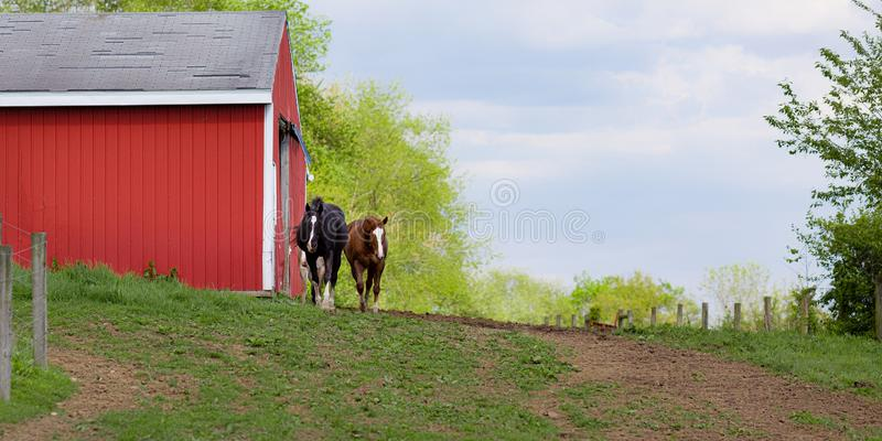 Two friendly horses approach from red barn outside during springtime royalty free stock image