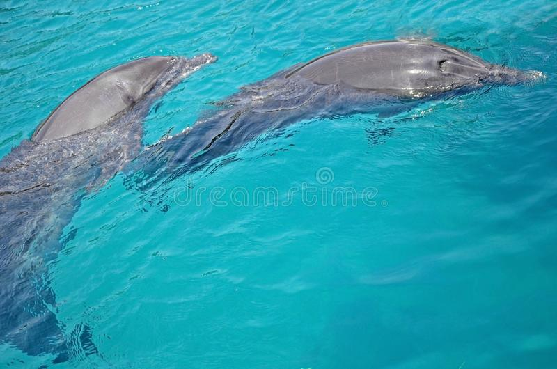 Two friends of the dolphin are dancing under the water in Red Sea, sunny day with playful animals, Conservation and protection. Of animals in Dolphin Reef in royalty free stock images