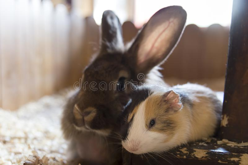 Two friends: a guinea pig and a rabbit lie side by side in the house stock photos