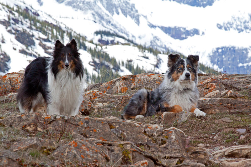 Download Two Friends On A Rocky Ledge Stock Photo - Image of ledge, sheltie: 30869746