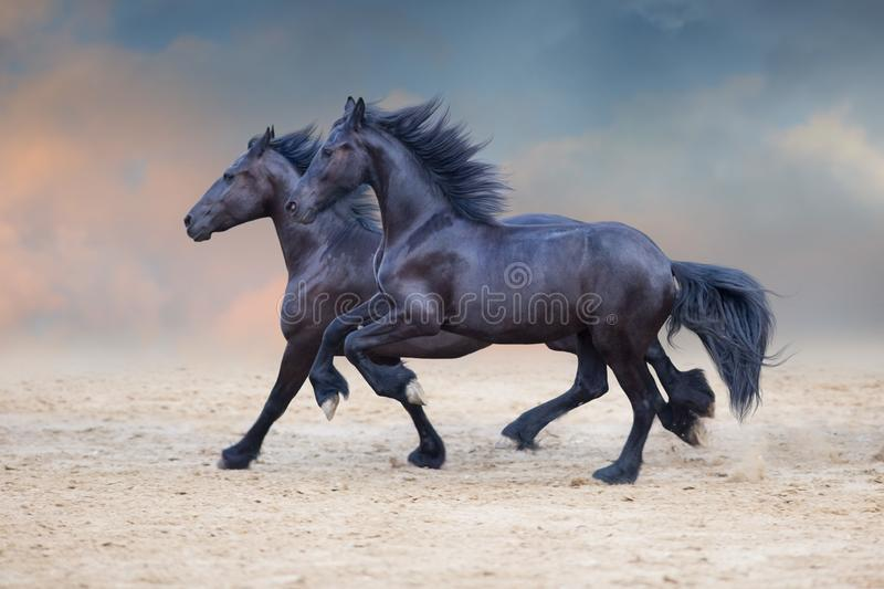 Two frisian horses royalty free stock photo