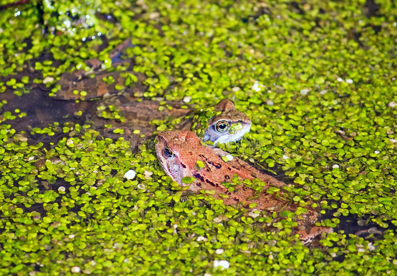 Download Two frogs stock image. Image of slippery, friends, puddle - 20885141