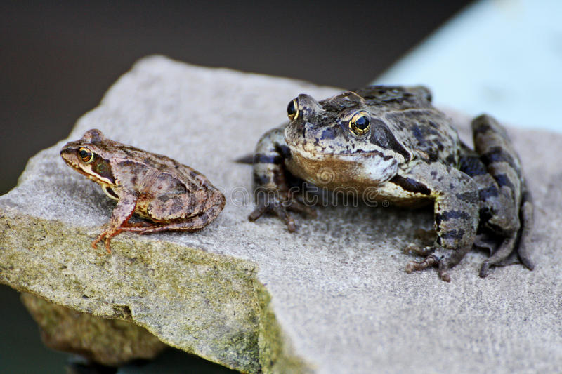 Two frogs on a grey stone. Frog on the stone. Two small gray frog sitting on a big grey stone royalty free stock images