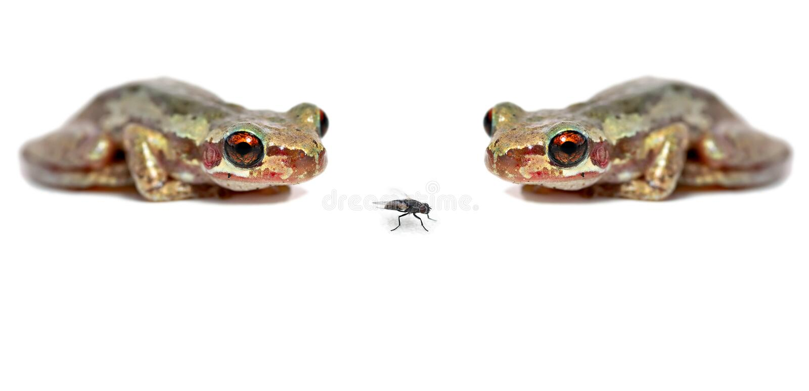 Two frogs one fly stock images