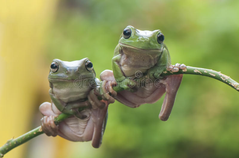 Two Frogs. Pose two frogs on leaf stock photos