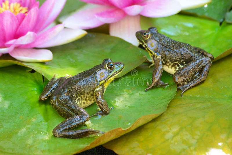 Two frogs sitting on water lilly pads. stock photos