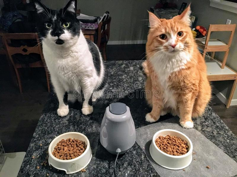 Two full grown cats, one an orange and white long haired maine coone and ragdoll mix, the other a large white and black tabby cat. Unimpressed with the bowls royalty free stock image