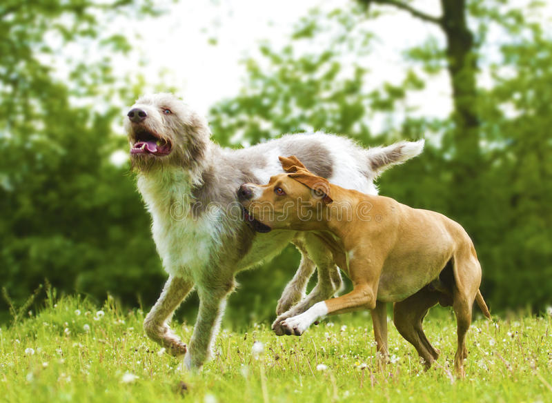 Two fun dogs at play royalty free stock photo
