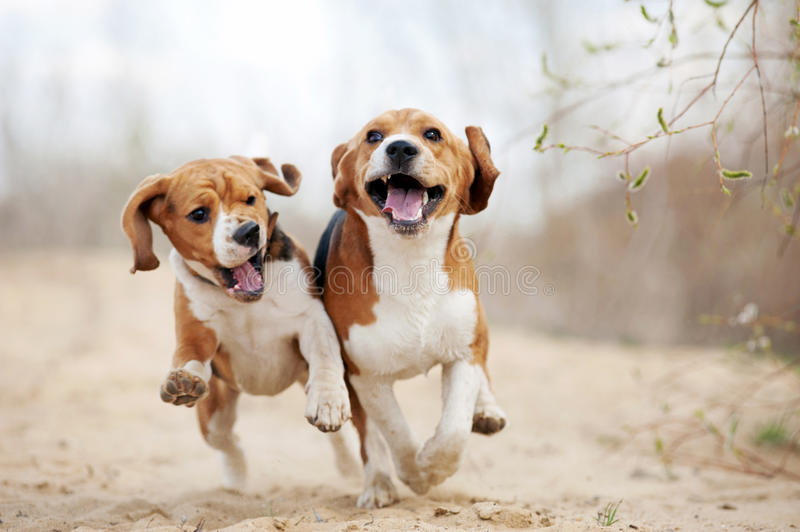 Two funny beagle dogs running. In spring together