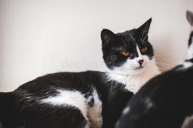 Two funny black and white tuxedo cats are fighting among themselves. Two funny black and white tuxedo cats are fighting among themselves stock photo