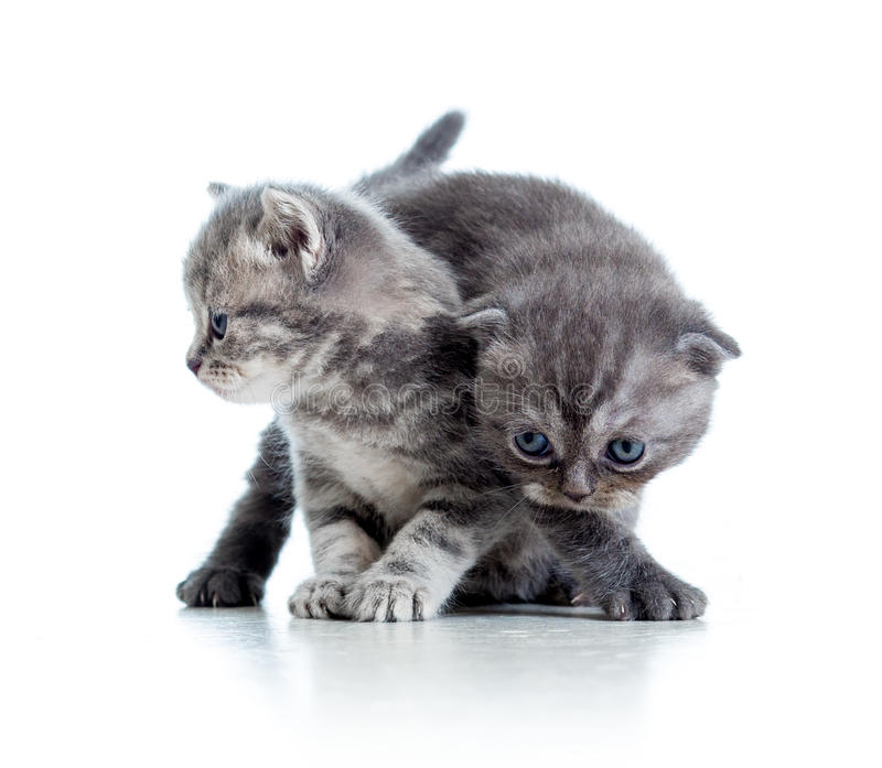 Two funny cat kittens play together. Over white background stock photography