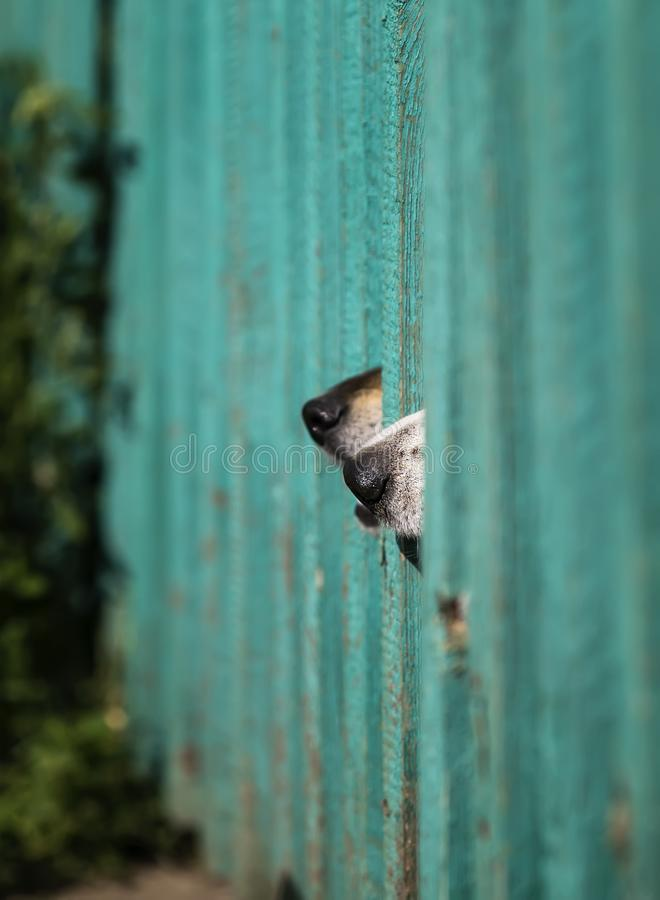 Two  curious dogs poke their black noses into the wooden fence in the village garden guarding the territory. Two funny curious dogs poke their black noses into royalty free stock image