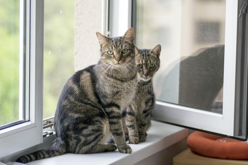 Two funny cute marble striped tabby cats sitting on the windowsill in the window stock photo
