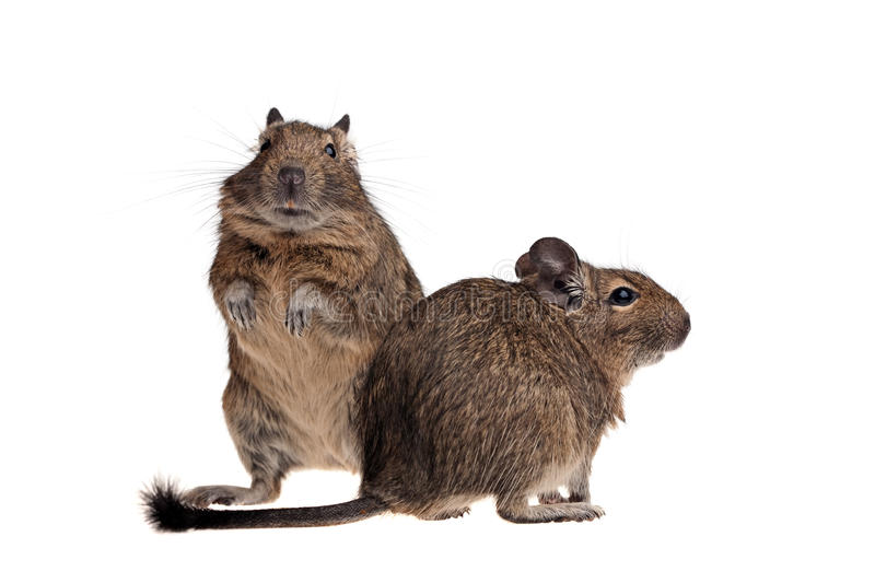 Download Two funny degu stock photo. Image of american, isolated - 22292178