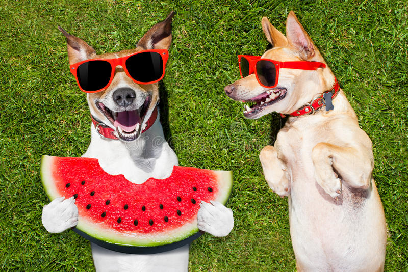 Two funny dogs. Couple of funny and laughing dogs with sunglasses, on grass or meadow in park on summer vacation holidays , one eating a fresh watermelon royalty free stock images