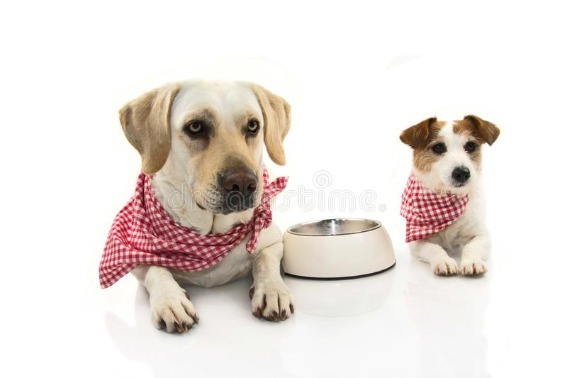 TWO FUNNY DOGS EATING FOOD. LABRADOR AND JACK RUSSEELL LYING DOWN WITH A EMPTY BOWL. ISOLATED STUDIO SHOT AGAINST WHITE BACKGROUND.  stock photos