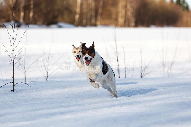 Two funny dogs playing together on winter snow field, outdoors.  stock image