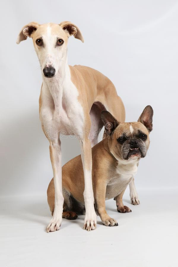 Two Funny Dogs Together In The Studio Stock Image Image Of French Attentive 131325807