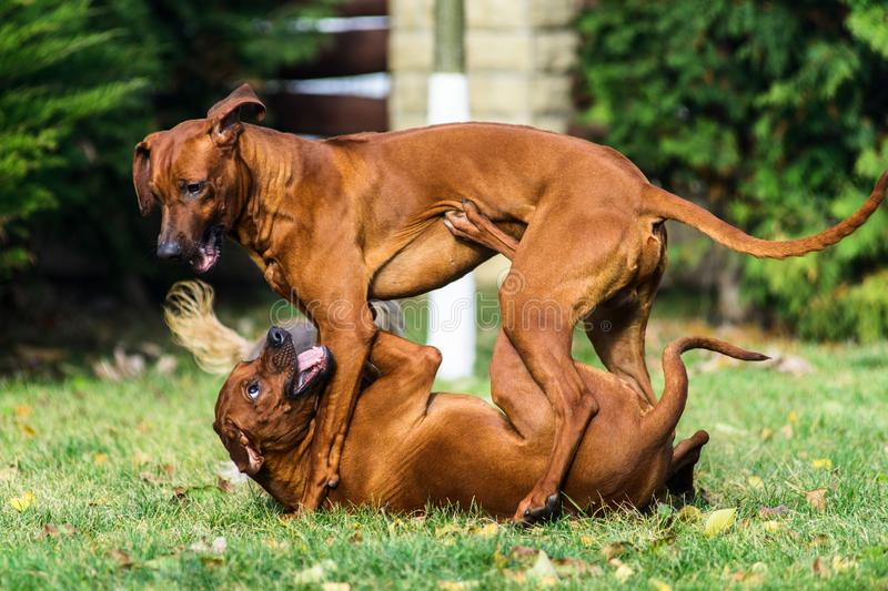 Two funny friendly Rhodesian Ridgeback dogs playing, running, chasing stock photo