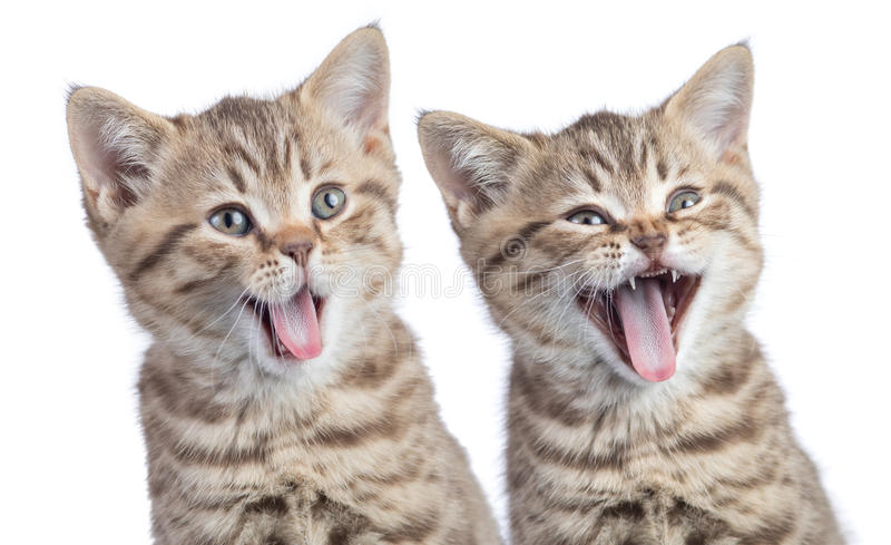 Two funny happy young cats portrait isolated. On white stock image