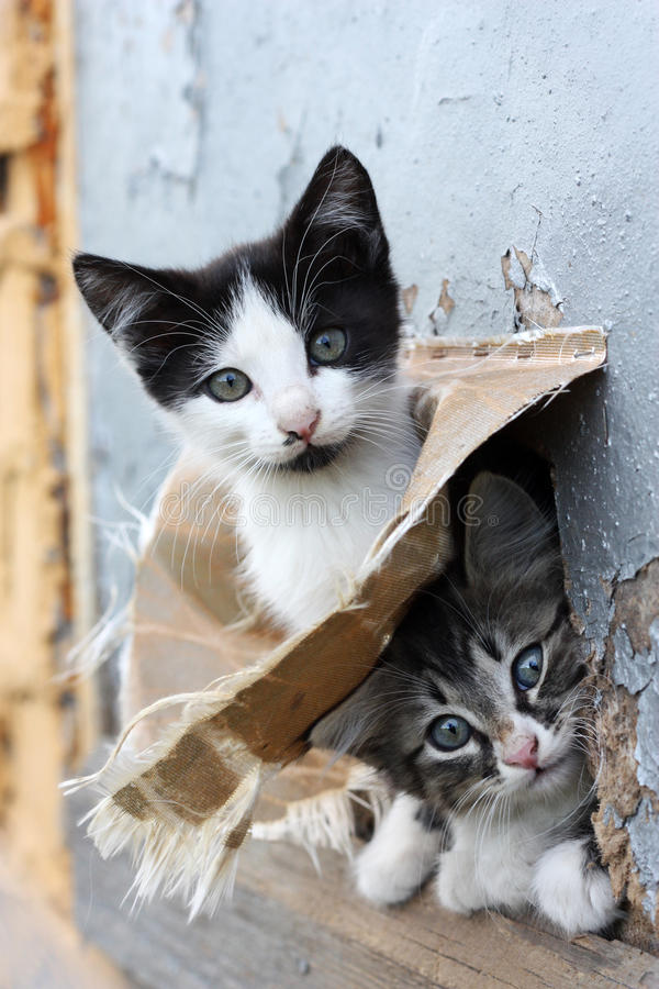 Two funny homeless playful kitten. Two small stray playful funny kitten look out of hiding stock image